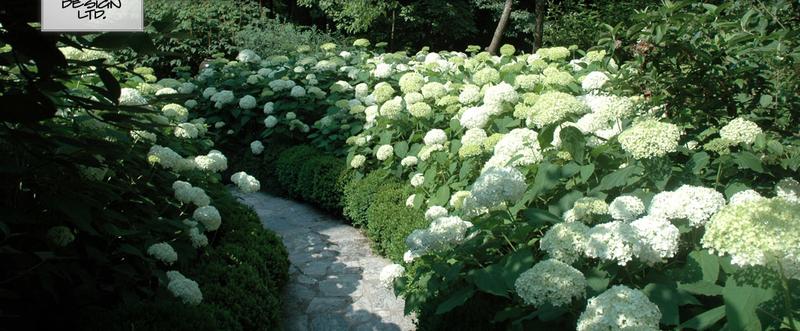 Hydrangea path - alex smith garden design
