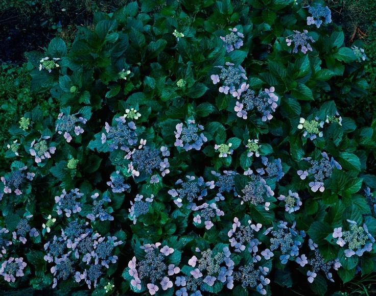 Lacey hydrangeas
