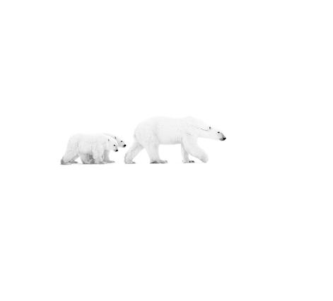 Polarbears-davidyarrowphotographer