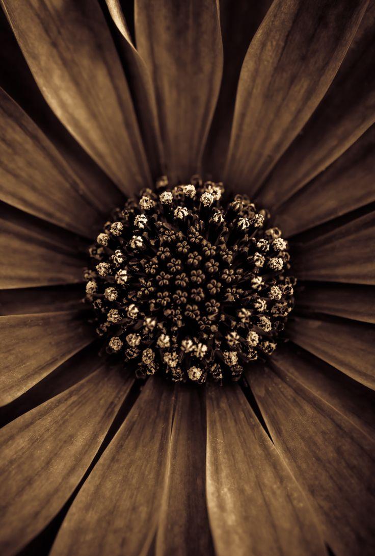 Sepia_flower